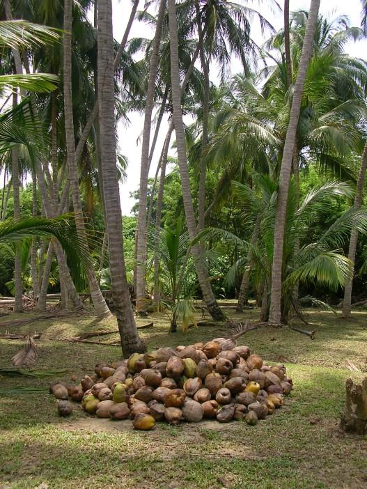 Fallen coconuts in Tayrona, Colombia