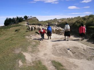 Sheep herding near Lake Quilotoa, Ecuador