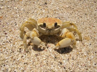 An angry crab, Nacula, Fiji