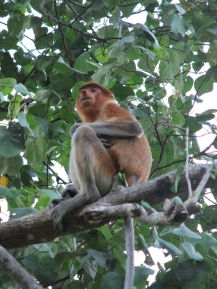 Proboscis monkey, Bako National Park, Malaysia