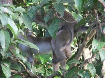 Carefree macaques, Kinabatangan River, Malaysia