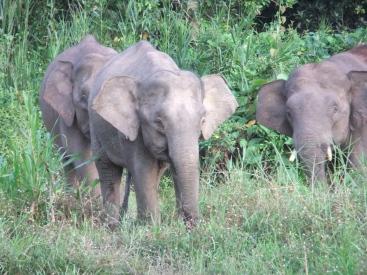 Pygmy elephants, Kinabatangan River, Malaysia