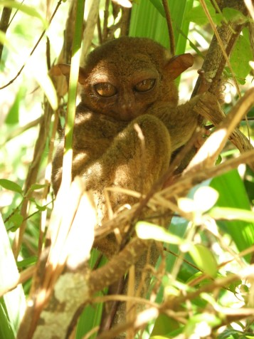 The tiny alien-like tarsier, Bohol, Philippines