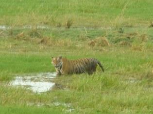 Finally we spot a tiger, Ranthambhore National Park, India