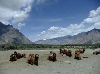 Double hump-backed camels on grey sand dunes, Nubra Valley, Ladakh, India