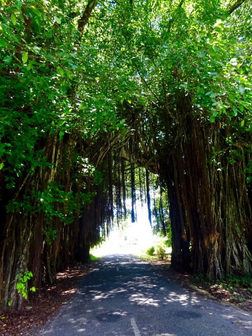 Huge banyan tree over road