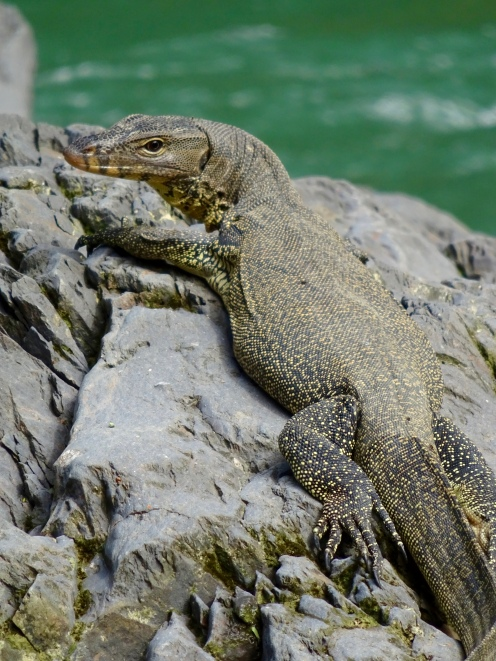 Monitor lizard in camp